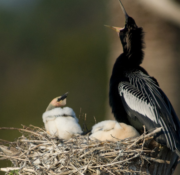 Anhinga Baby - Just hold on breakfast is coming