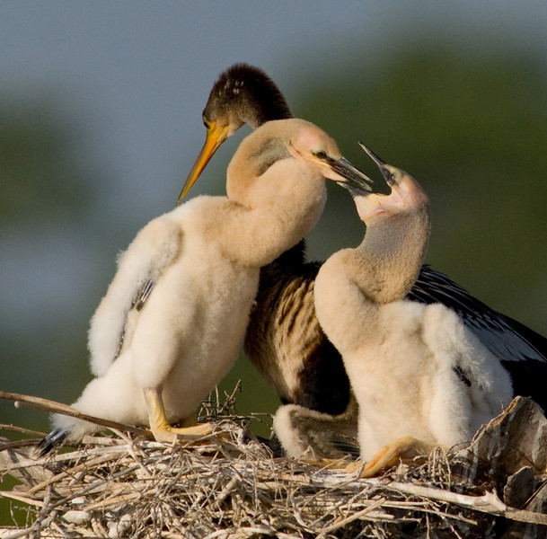 Anhinga Chick - Now I can see your Tonsils