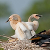 Two Anhinga chicks with opposite views