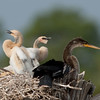Female Anhinga with its two chicks