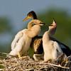 Anhinga Chick - Open wide