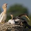 Anhinga Chick - The big yawn