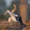 Anhinga Chick - Just stretching