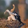 Anhinga Chick - Just stretching