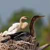 Anhinga and Chick - Something interesting going on over there
