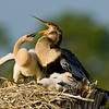 Anhinga - Who is going to win this fight?