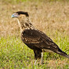 Immature Crested Caracara near the base of the tree where both parents hangout at the Viera Wetlands