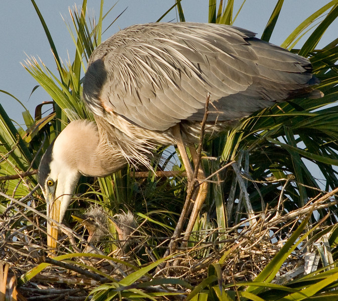 Great Blue Heron with its 2 babies.  Look to the right of its beak to see the chicks.