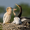 Anhinga and Chicks - How about some breskfast?