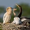 Anhinga and Chicks - How about some breskfast?