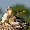 Anhinga and Chick - Who is out there?