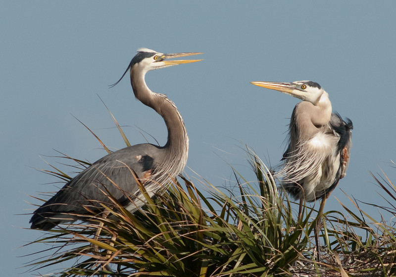 Both Great Blue Herons at their nest