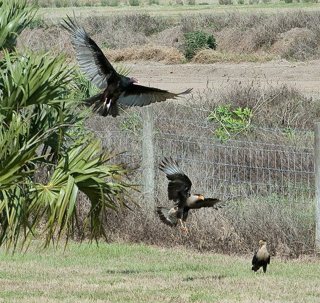 The Turkey is looking around to see what the Crested Caracaras are up too
