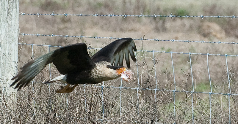 Crested Caracara in flight with food