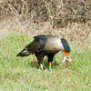 Crested Caracara starting to eat its catch