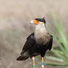 Crested Caracara Just hanging around