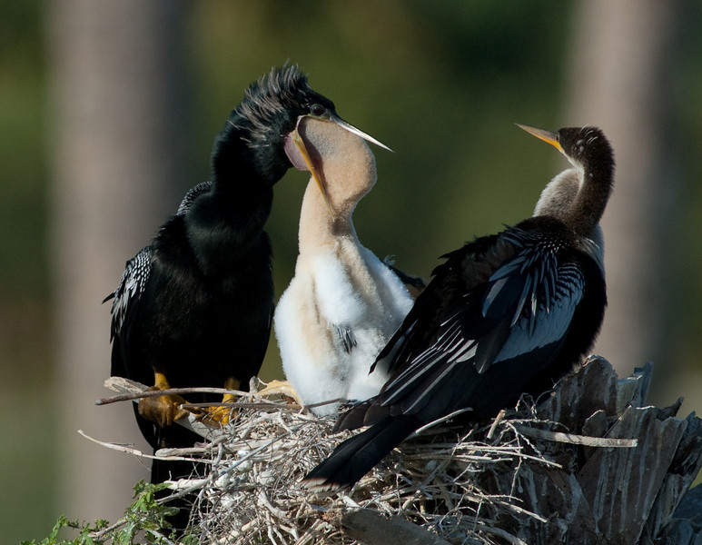 The Anhinga Family - Feeding time