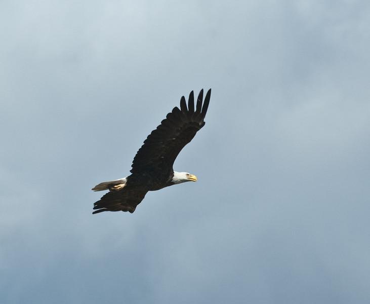 Bald Eagle in flightp