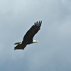 Bald Eagle in flightp