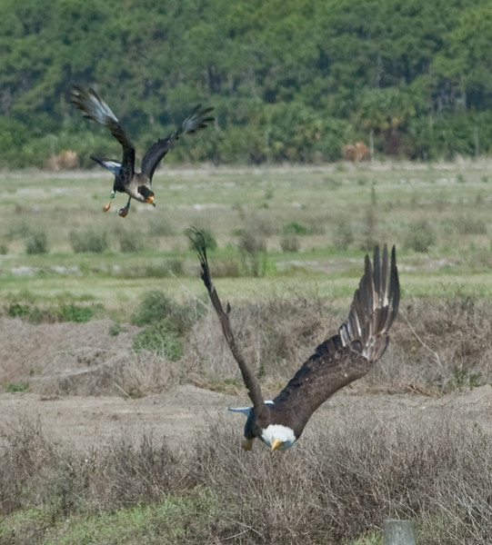 Crested Caracara after a Bald Eagle