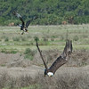 Crested Caracara after a Bald Eagle