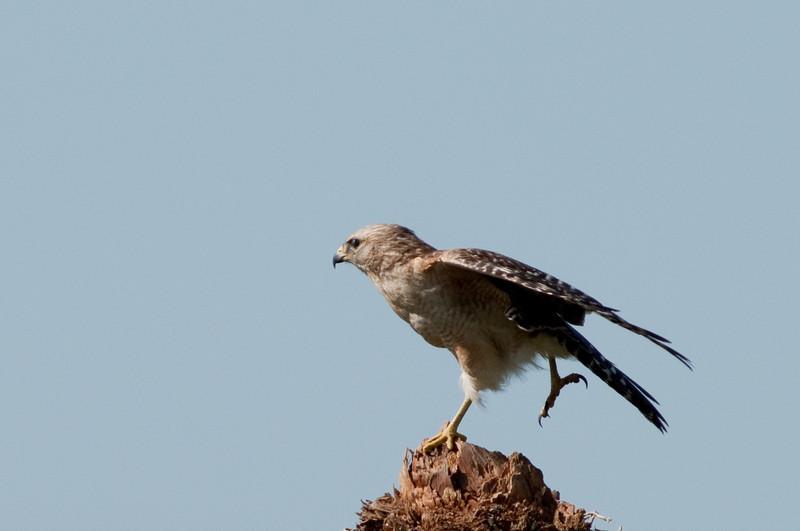 Red-shouldered Hawk - One leg stretch