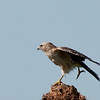 Red-shouldered Hawk - One leg stretch