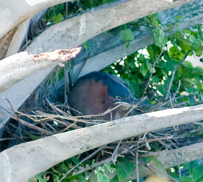 Green Heron in its nest