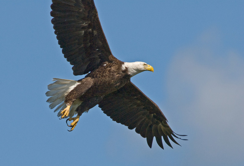 Bald Eagle - In flight now