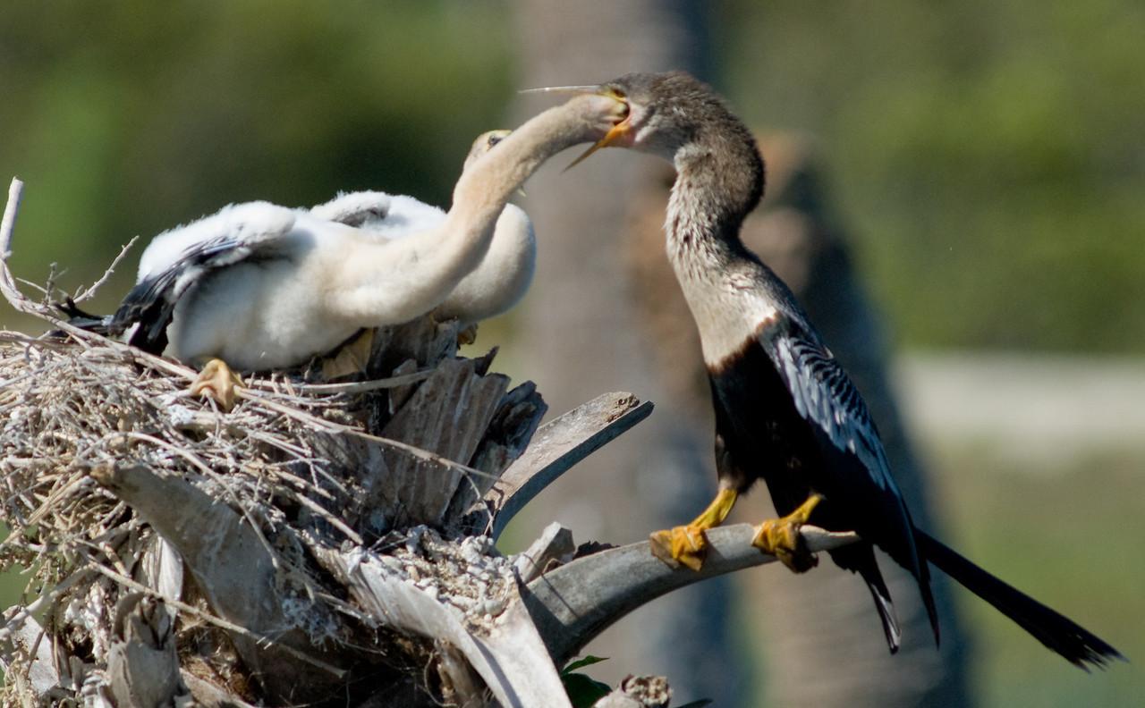 Anhinga feeding time