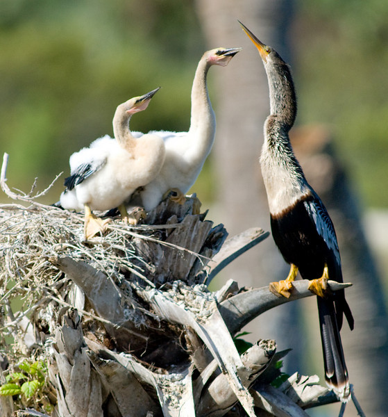 Female Anhinga with its 2 chicks