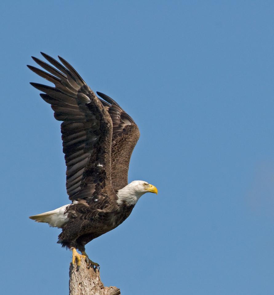 Bald Eagle - Ready for take off