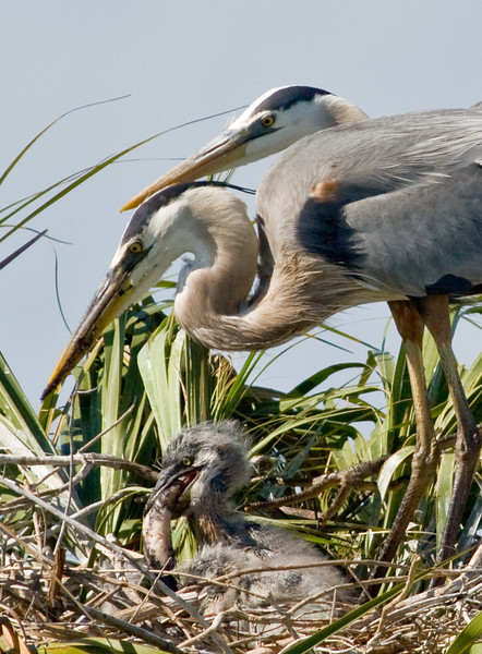 Great Blue Heron Nest - The chick is trying to swallow a small fish