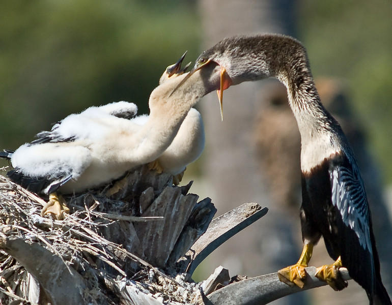 Anhinga feeding time
