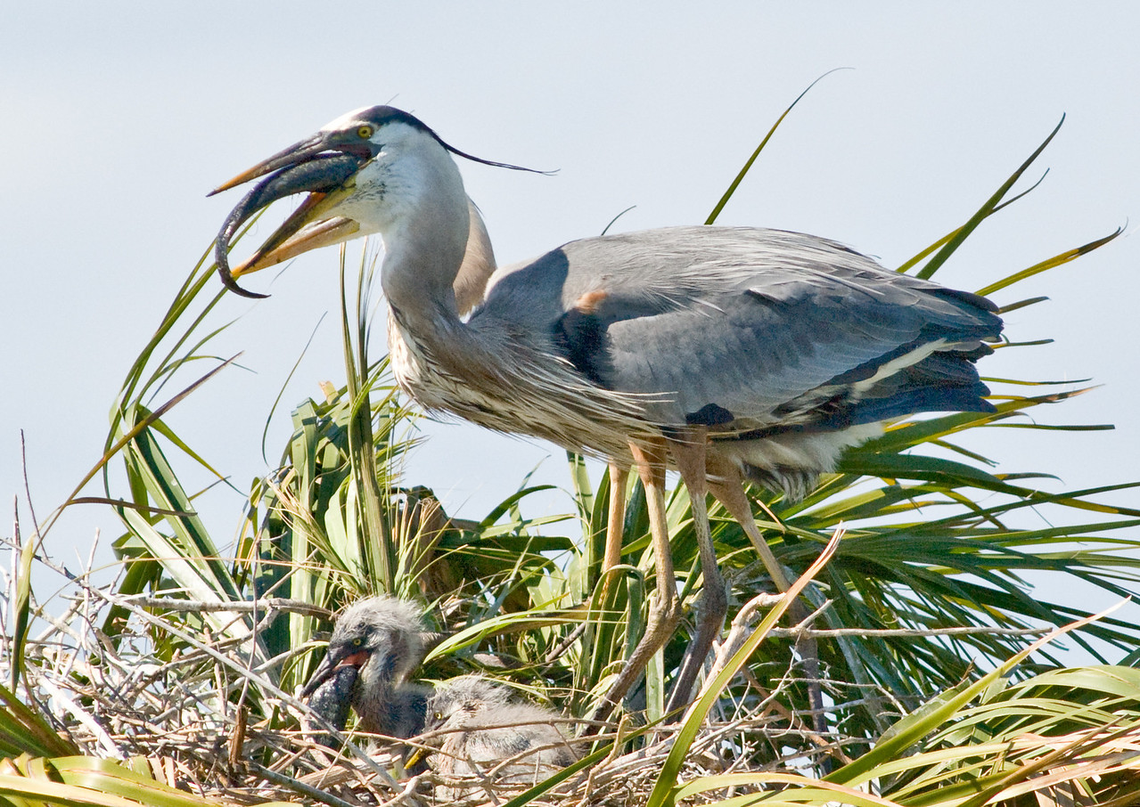 Great Blue Heron Nest - Like parent like chick, both are trying to eat a fish
