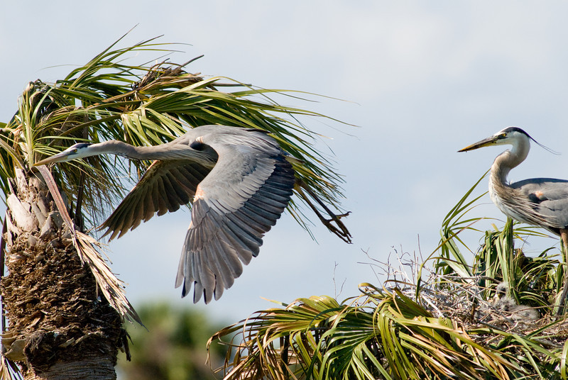 Great Blue Heron Nest - Off I go for more food