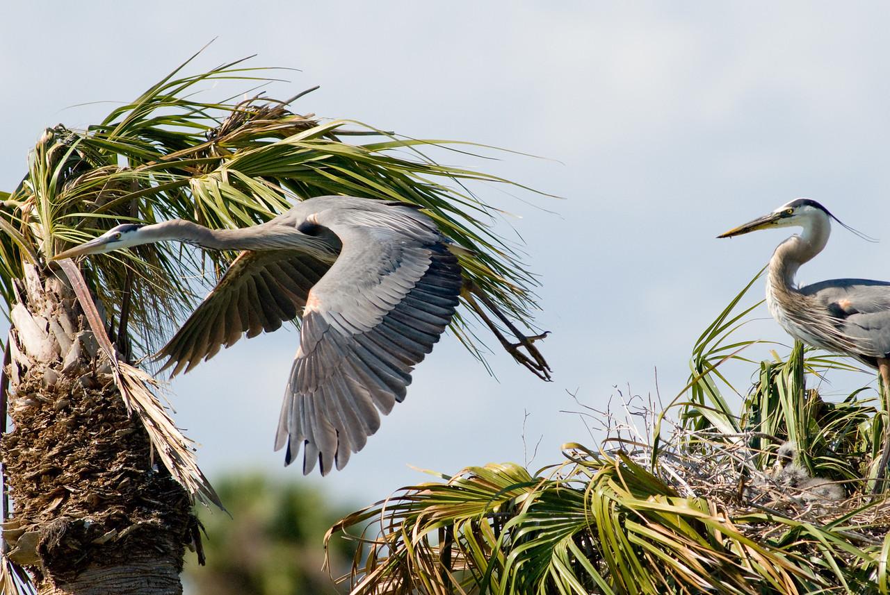 Great Blue Heron Nest - Off I go for more food