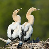 Anhinga nest - Just posing for this picture