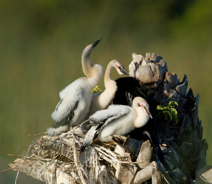 Anhinga nest - Another nest with 3 chicks in it
