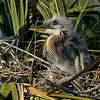 The Great Blue Heron's Nest - Close-up of the chick