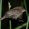 Female Red-winged Blackbird - Jumping from reed to reed