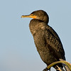 Double Crested Cormorant - Just hanging around