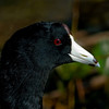 Close-up of a American Coot
