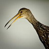 Limpkin - My portrait head shot
