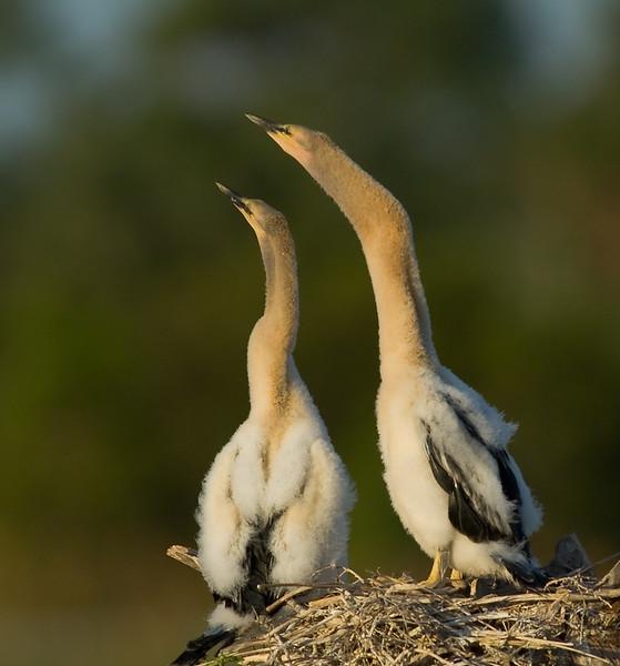 Anhinga nest - The Chicks are just stretching their necks