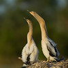 Anhinga nest - The Chicks are just stretching their necks