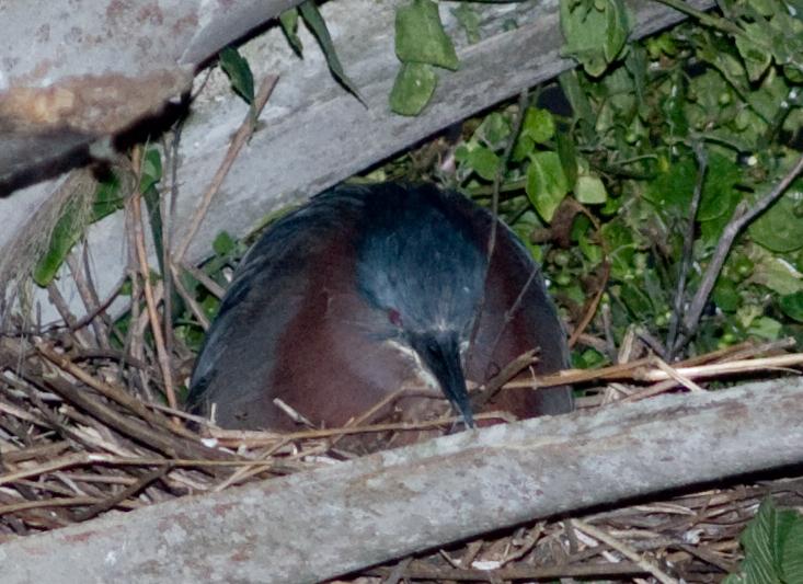 Green Heron's nest