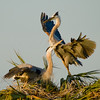 The Great Blue Heron's Nest - One of the parents just few in
