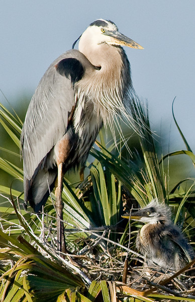 The Great Blue Heron's Nest - The parent with the chick