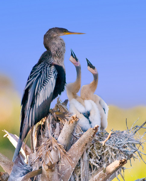 Anhinga nest - Some PhotoShop enhancements